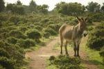 Thumbnail Donkey on Monte Minerva, Sardinia, Italy, Europe