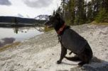 Thumbnail Sled dog, pack dog with pack enjoys view over Bare Loon Lake, Chilkoot Trail, Chilkoot Pass, Yukon Territory, British Columbia, B. C., Canada