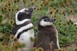 Thumbnail Magellanic Pinguins (Spheniscus magellanicus), Seno Otway, Chile, South America
