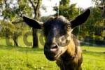 Thumbnail goat looking pryingly through the fence