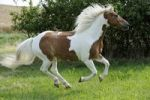 Thumbnail Galloping horse, Pinto, chestnut tobiano