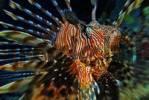 Thumbnail Lionfish Pterois volitans, Vakarufalhi, Ari atoll, Indian Ocean, Maldives