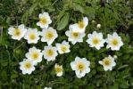Thumbnail Mountain avens, white dryas, and white dryad (Dryas octopetala), Mt. Kramer or Mt. Kramerspitz, near Garmisch-Partenkirchen, Werdenfelser Land area, Upper Bavaria, Bavaria, Germany, Europe