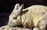Thumbnail Plains Viscacha (Lagostomus maximus), Reserva Nacional de Fauna Andina Eduardo Avaroa nature reserve, Bolivia, South America
