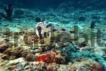 Thumbnail Shortspine Porcupinefish Diodon liturosus, Vakarufalhi, Ari atoll, Indian Ocean, Maldives