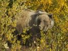 Thumbnail Grizzly Bear (Ursus arctos), feeding near Haines Junction, Indian Summer, leaves in fall colours, Kluane National Park and Reserve, Yukon Territory, Canada