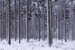 Thumbnail Snow-covered coniferous forest in winter, common spruce (Picea abies), Tangstedter Forst forest, Schleswig-Holstein, Germany, Europe