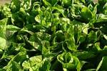 Thumbnail salad plants