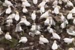 Thumbnail bird rocks at Cape St. Marys ecological seabird reserve, Avalon Peninsula