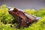 Thumbnail Zipfelkroetenfrosch Horned frog (Megophrys monticola)