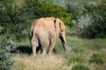 Thumbnail African Forest Elephant (Loxodonta cyclotis), Damaraland, Namibia, Africa