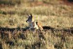 Thumbnail Black-backed Jackal (Canis mesomelas), Waterberg Plateau Park, Namibia, Africa