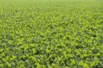 Thumbnail Winter oilseed rape, hibernating, frost-resistant green manure plant, enhances the biological activity of the soil