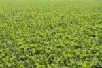 Thumbnail Winter oilseed rape, hibernating, frost-resistant green manure plant, enhances the biological activity of the soil