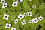 Thumbnail Canadian Dwarf Cornel, Canadian Bunchberry, Crackerberry (Cornus canadensis)
