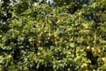 Thumbnail Mirabelle plums, Mirabelle prune, Prunus domestica var. syriaca