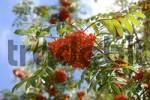 Thumbnail Ripe fruits of Sorbus aucuparia, Rowan, Mountain Ash