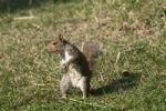 Thumbnail Squirrel (Sciurus vulgaris)