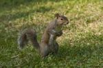 Thumbnail Squirrel (Sciurus vulgaris)