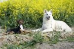 Thumbnail White shepherd and Seguiser, Italian hunting and racing dog
