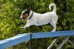 Thumbnail Jack Russell Terrier on catwalk, Agility