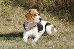 Thumbnail Beagle bitch