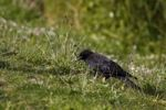 Thumbnail Raven in a meadow