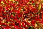 Thumbnail Autumn foilage, beech