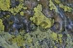 Thumbnail lichens Rhizocarpon geographicum Austria 2450 mNN