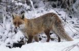 Thumbnail Red fox (Vulpes vulpes) in the snow, Allgaeu, Bavaria, Germany, Europe