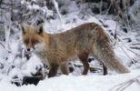 Thumbnail Red fox (Vulpes vulpes) in the snow, Allgaeu, Bavaria, Germany, Europe