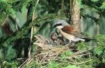 Thumbnail Red-backed Shrike (Lanius collurio), male feeding young in the nest, Allgaeu, Bavaria, Germany, Europe