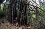 Thumbnail Hiker and giant bamboo (Phyllostachys pubescens heterocycla) at Piton d'Anchaing, Cirque de Salazie, Ile de La Reunion, France, Europe