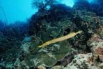 Thumbnail Yellow Trumpetfish (Aulostomus maculatus), Belize, Caribbean, Central America