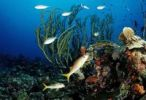 Thumbnail Coral reef with colorful fish, Belize, Caribbean, Central America