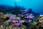 Thumbnail Creole wrasse (Clepticus Parra), Bonaire, Netherlands Antilles, Caribbean