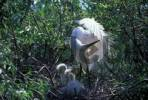 Thumbnail Great White Egret / Egretta alba modesta. Ussuriland, Southern Far East of Russia