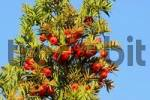 Thumbnail red edible fruit of the poisonous English Yew Taxus baccata