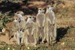 Thumbnail Meerkats (Suricata Suricatta), South Africa