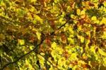 Thumbnail forest in autumn, colored leaves of the Beech Fagus sylvatica