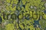 Thumbnail lichens Rhizocarpon geographicum