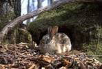 Thumbnail Bristly rabbits / Caprolagus brachyurus mandschuricus. Ussuriland, Southern Far East of Russia