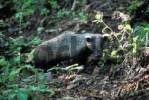 Thumbnail Eurasian badger / Meles meles amurensis. Ussuriland, Southern Far East of Russia