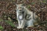 Thumbnail european lynx Lynx lynx, captive