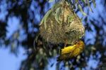 Thumbnail Cape Weaver (Ploceus capensis), Namaqualand, South Africa, Africa