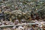 Thumbnail wild boar shoat is rummageing in the forest ground