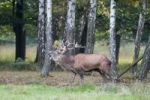 Thumbnail Red deer (Cervus elaphus), rut, rutting season, deer, enclosure, Germany, Europe