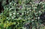Thumbnail Cup Lichen (Cladonia pyxidata)