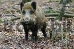 Thumbnail Wild boar Sus scrofa