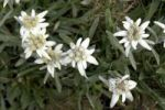 Thumbnail Edelweiss (Leontopodium)